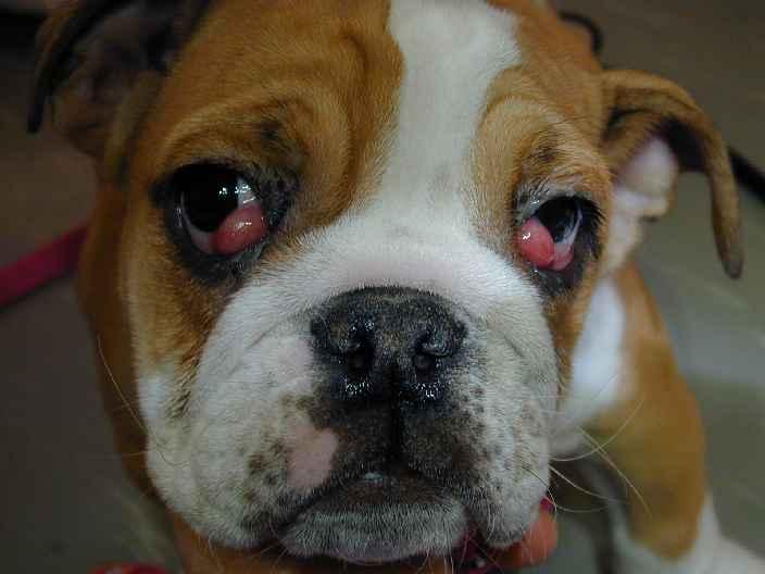 dog on steroids and antibiotics